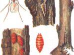 Малиновый комарик, схематичное изображение