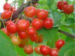Черешня сорта Брянская розовая — нежная ягода в вашем саду!