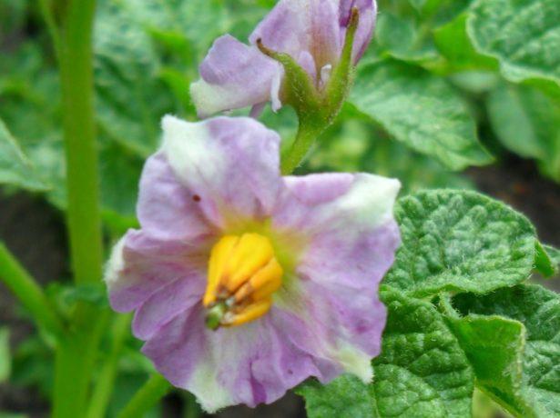 Цветки Розары