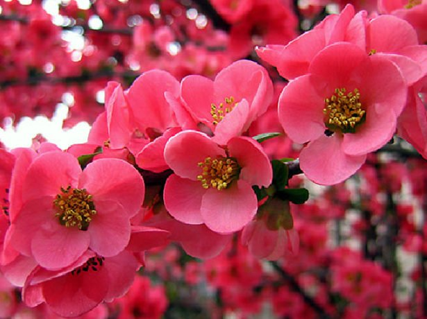 Цветущая ветка китайской сливы