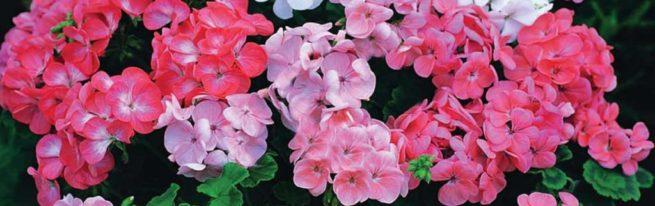 Почему не цветёт герань: причины и решения