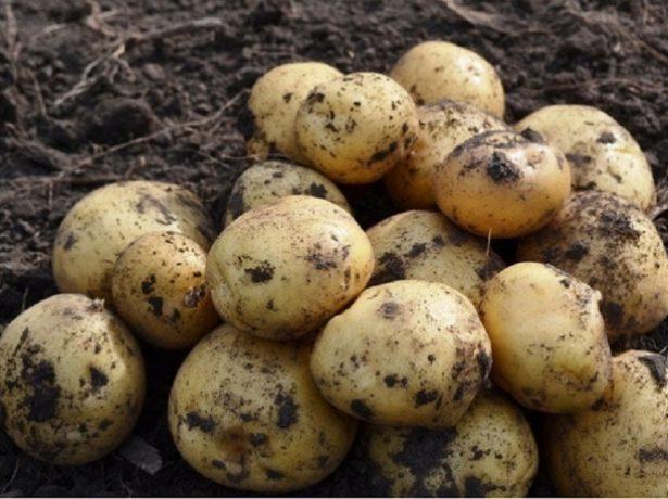 Хорошая лёжкость картофеля