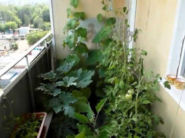 Кабачки на балконе