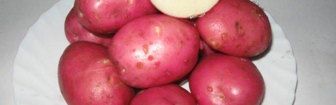 Картофель сорта Розара: описание и нюансы выращивания