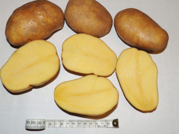 Клубни картофеля Тулеевский в разрезе