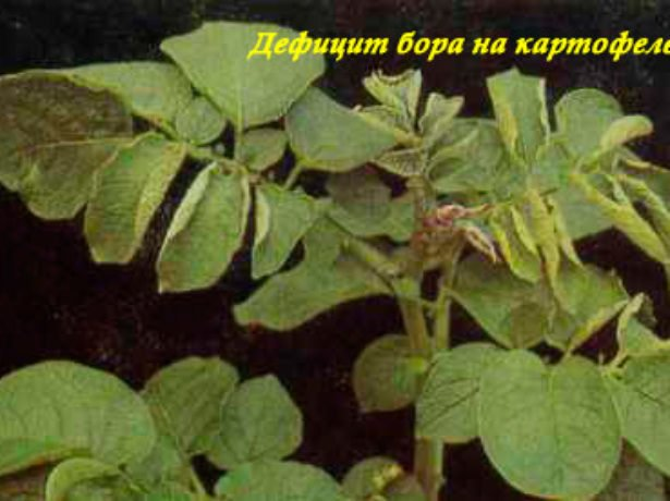 Куст картофеля, страдающий от дефицита бора