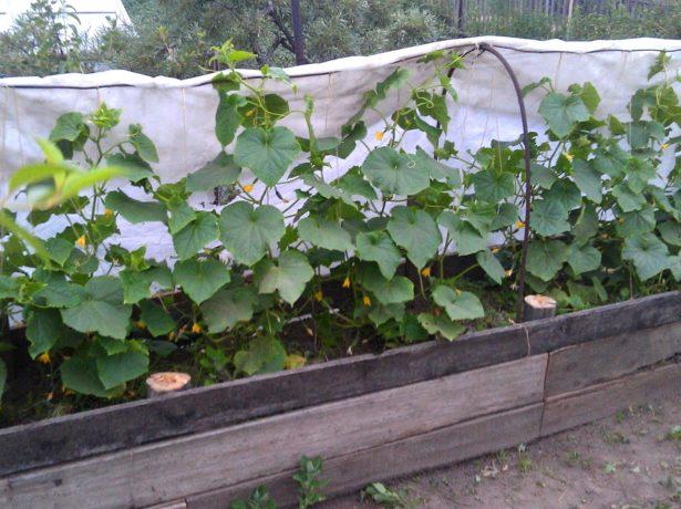 Выращивание огурцов на компостной куче 42