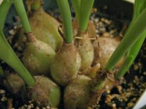 Луковицы дримиопсиса