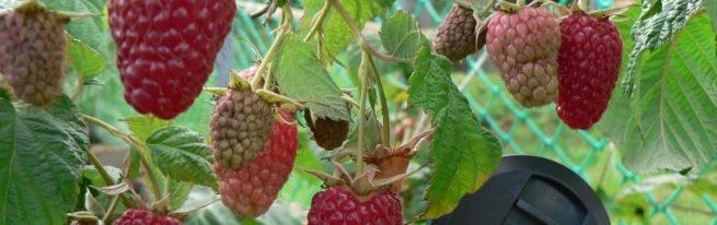 Ремонтантная малина Таганка: сверхпродуктивный сорт на грядке