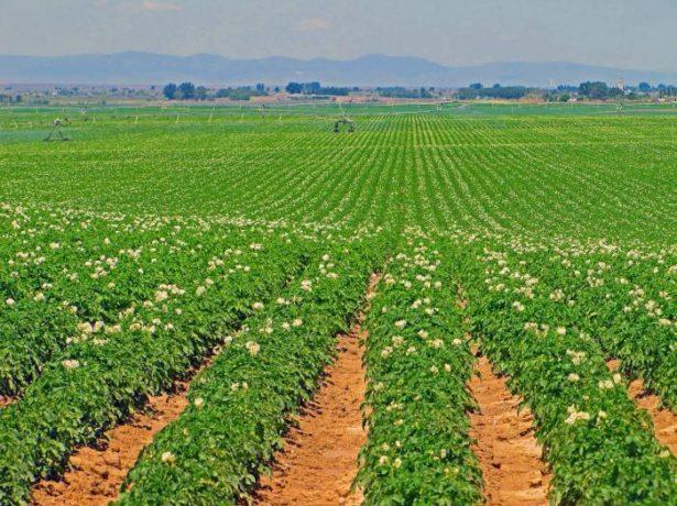 Направление картофельных грядок