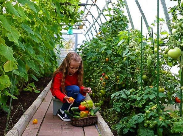 Какие овощи сажают вместе в теплице 33