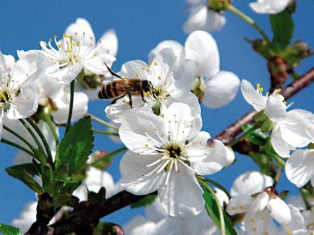Период цветения Ипути