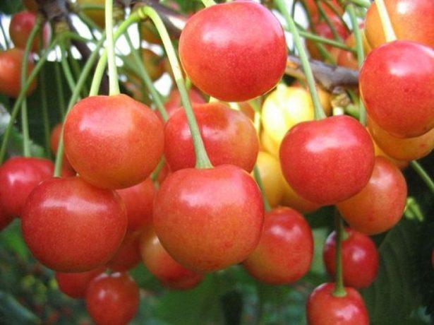 Плоды черешни сорта Брянская розовая