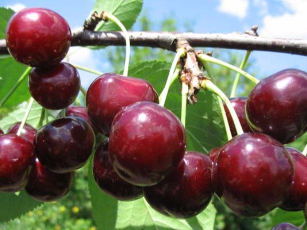 Плоды вишни сорта Чудо описание