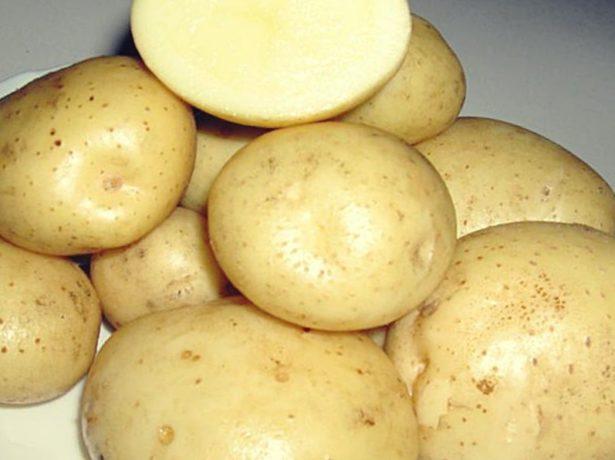 Картофель сорта Санте описание и отзывы с фото