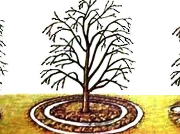 Схемы полива дерева