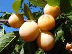 Слива Яхонтовая - выращивание и уход