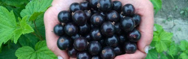 Смородина Селеченская и Селеченская 2: характеристики и условия выращивания
