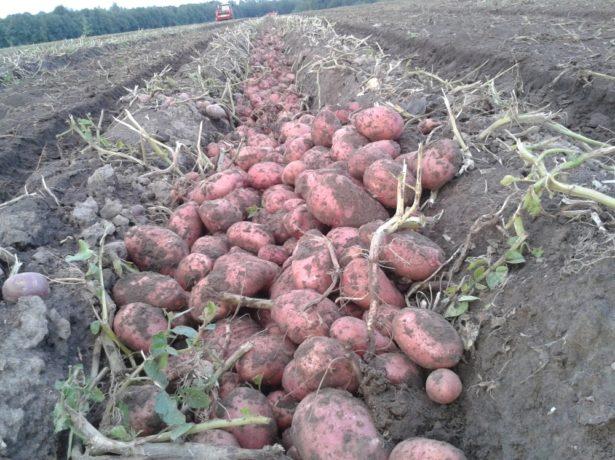 Собранный урожай Розары