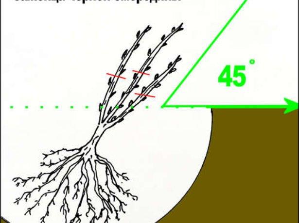 Технология посадки чёрной смородины