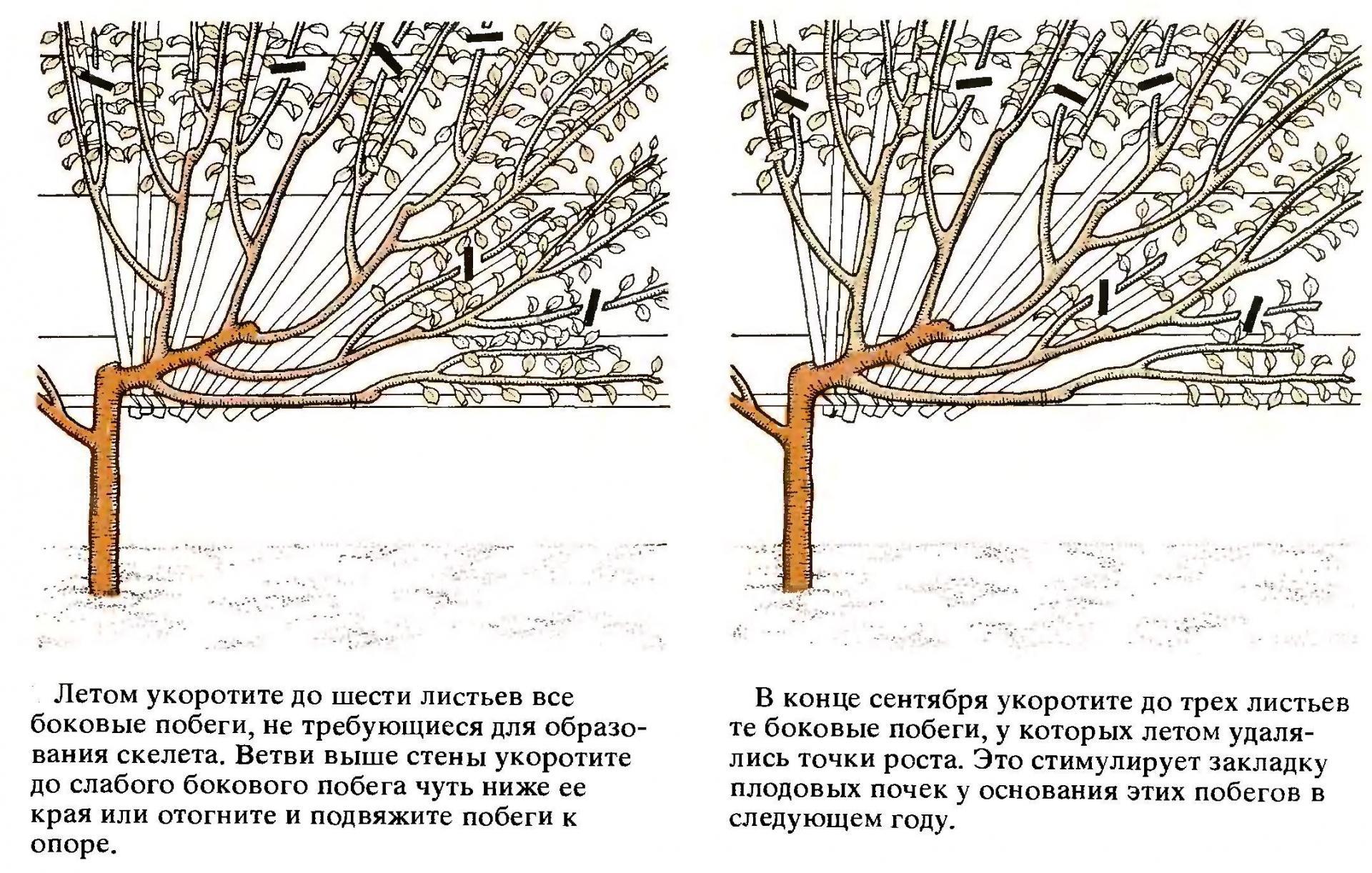 Выращивание черешни и уход за ней Образцовая Усадьба 23