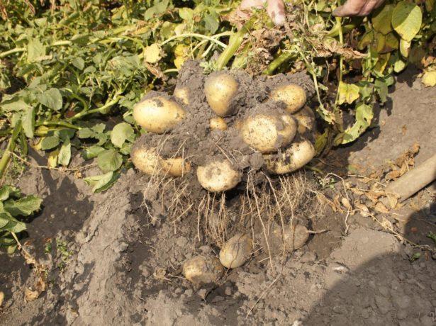 Урожай картофеля Тулеевский