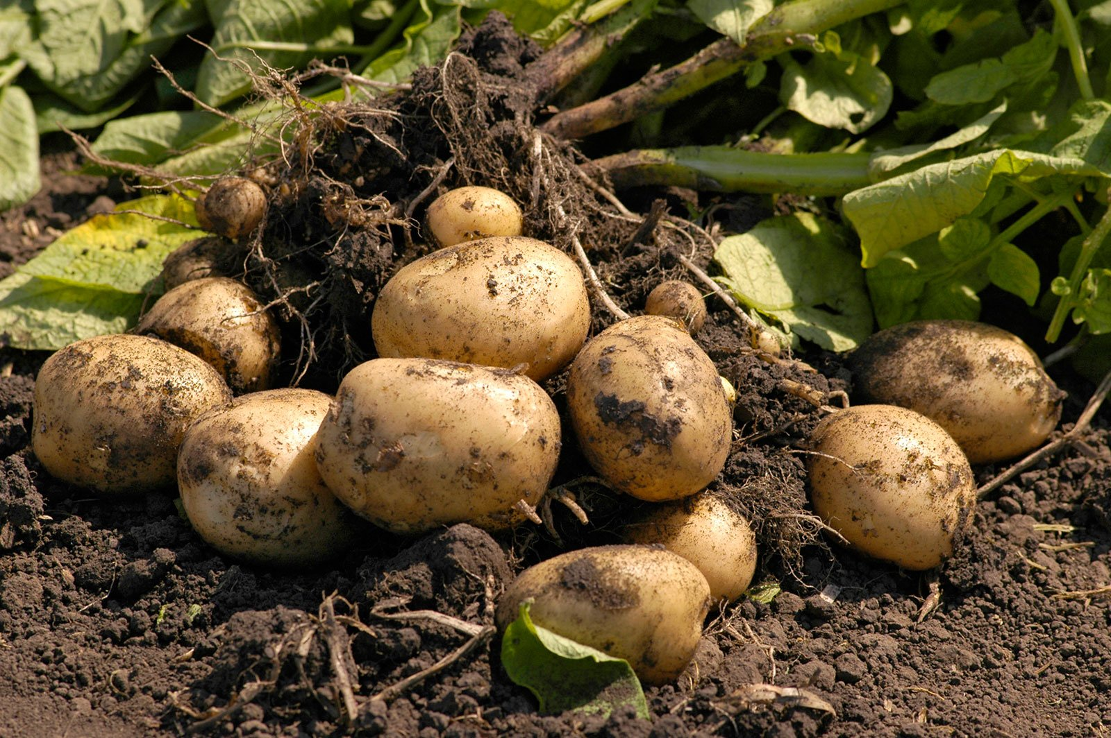 Если посадить мелкую картошку что будет