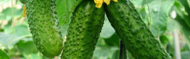 Чем подкормить урожайные огурцы?