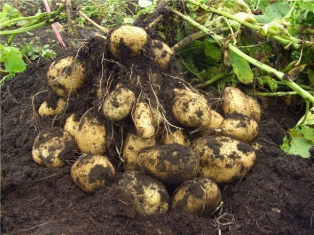 Урожайный сорт картофеля Импала