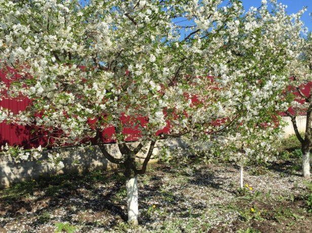 Вишнёвое дерево в саду