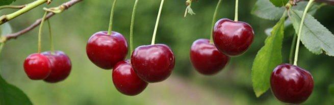 Вишня Любская - особенности сорта, уход от посадки до урожая