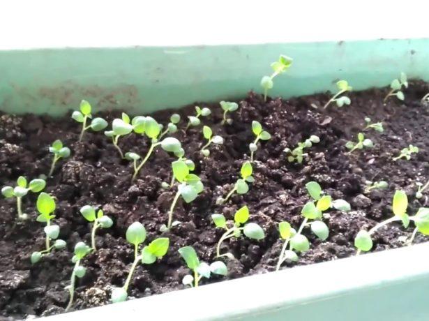 центр вырастить картофель из семян маленькие, упругие, эластичные