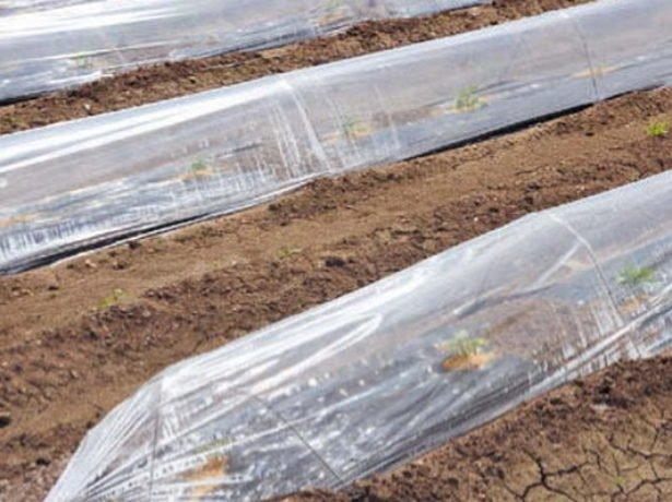Выращивание картофеля под плёнкой