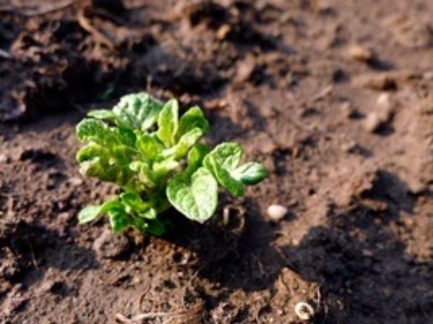 Выращивание картофеля в яме