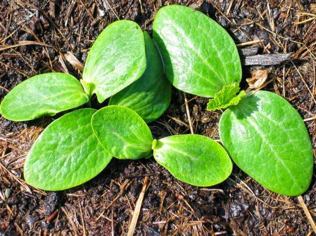 Взошедшие семена кабачка