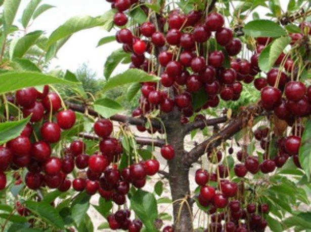 Ягоды вишни Любской описание