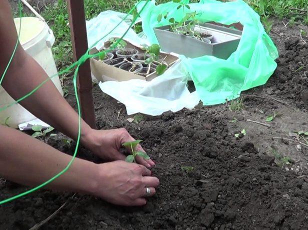 Женщина высаживает огурцы в грунт