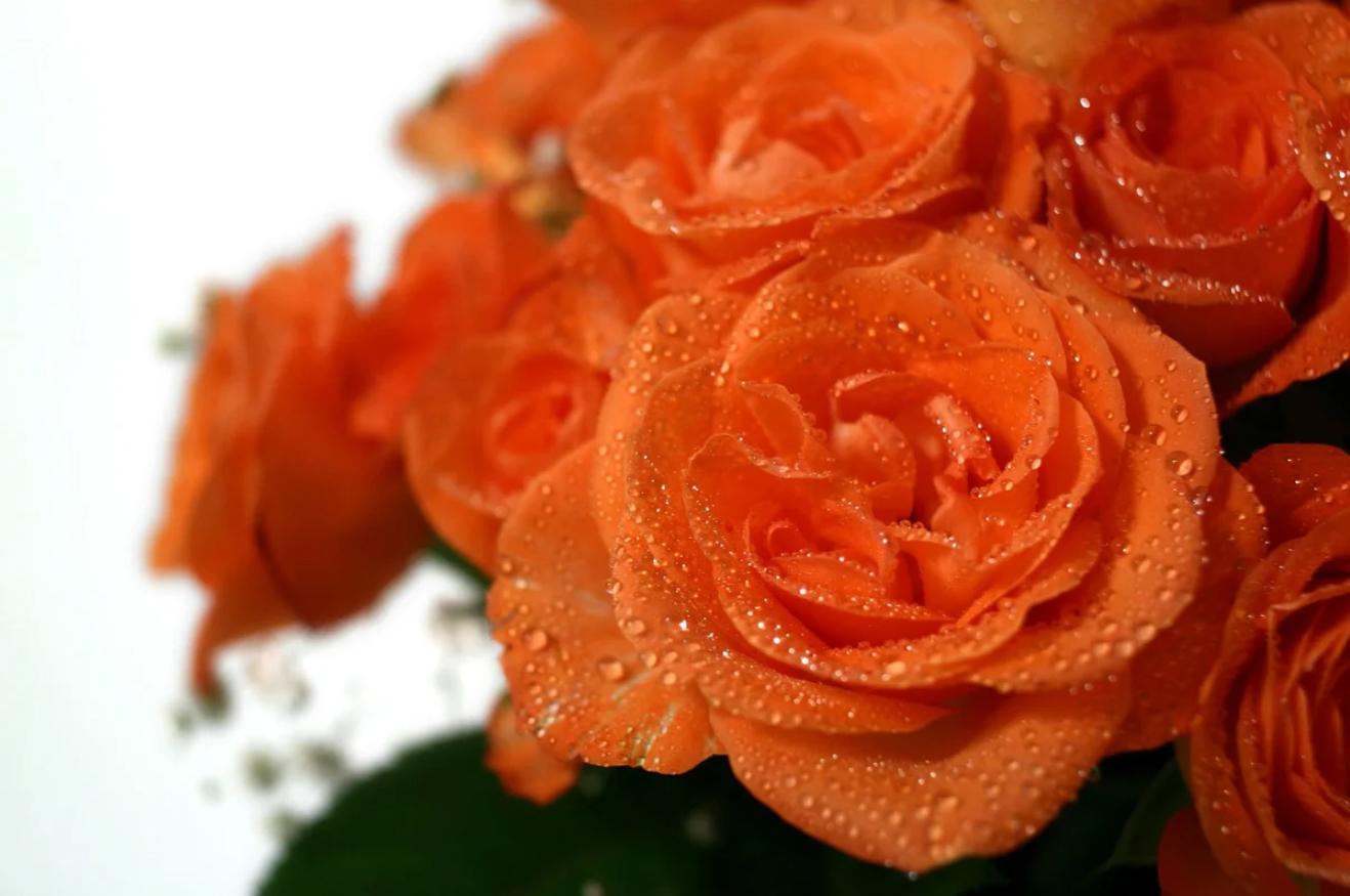 Как подольше сохранить срезанные розы в вазе