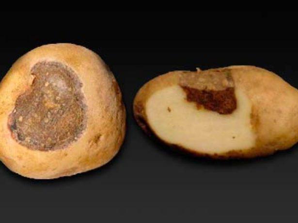 Альтернариоз клубней картофеля
