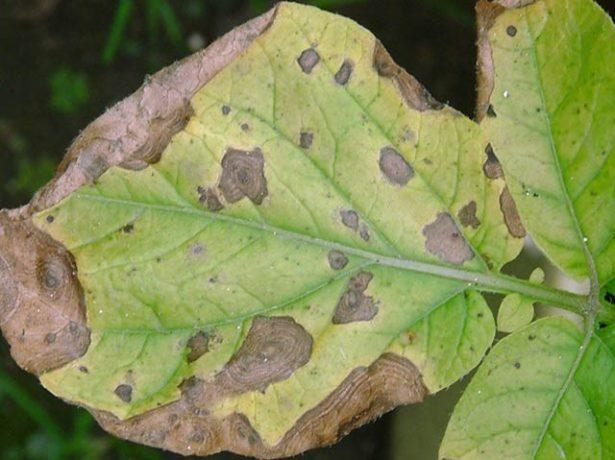 Альтернариоз листьев картофеля