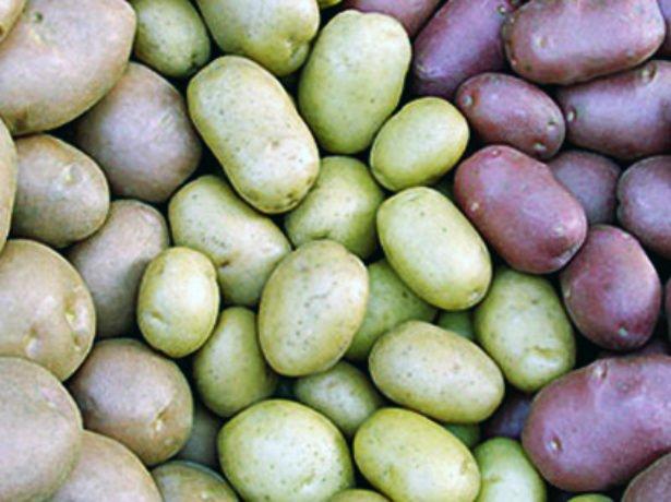 Зеленение клубней картофеля