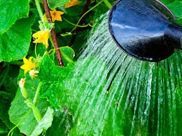 Дождевание огурцов в теплице