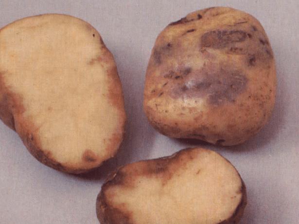 Фитофтороз клубней картофеля