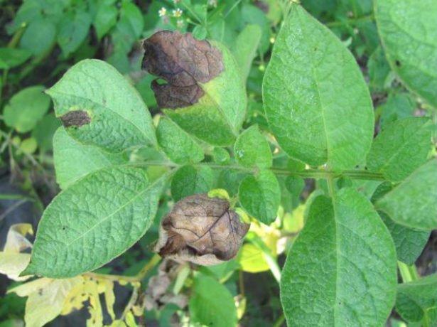 Фитофтороз листьев картофеля