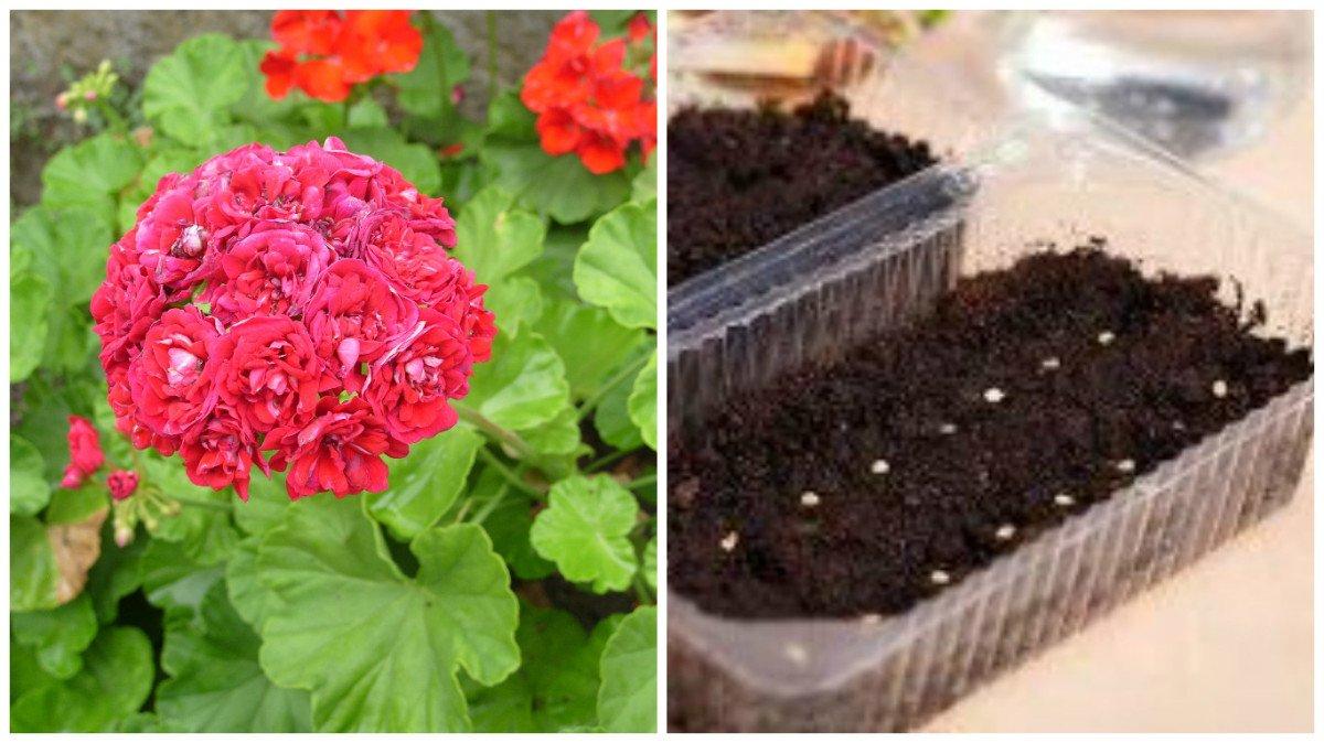 Пеларгония выращивание из семян с фото 80