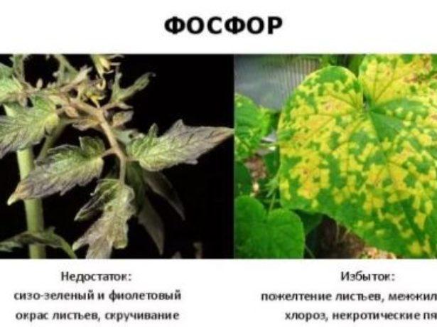 Избыток и недостаток фосфора