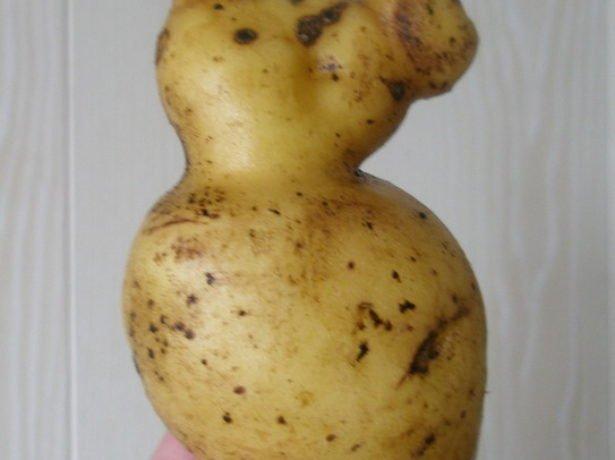 Израстание клубня картофеля