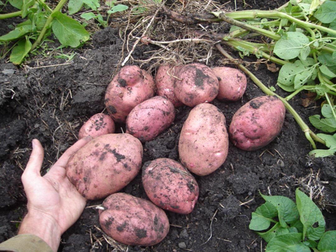 Два урожая картофеля специального назначения