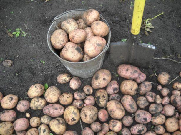 Картофель сорта Жуковский ранний
