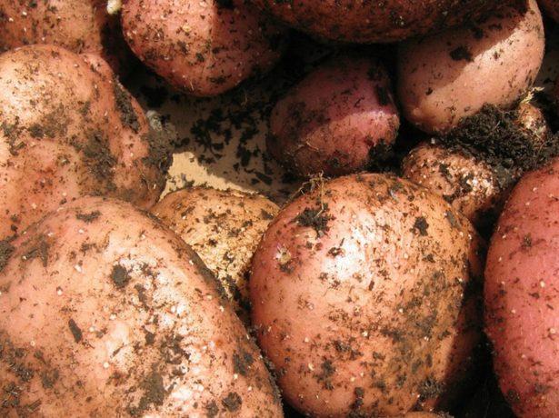 Картофелины Жуковского раннего